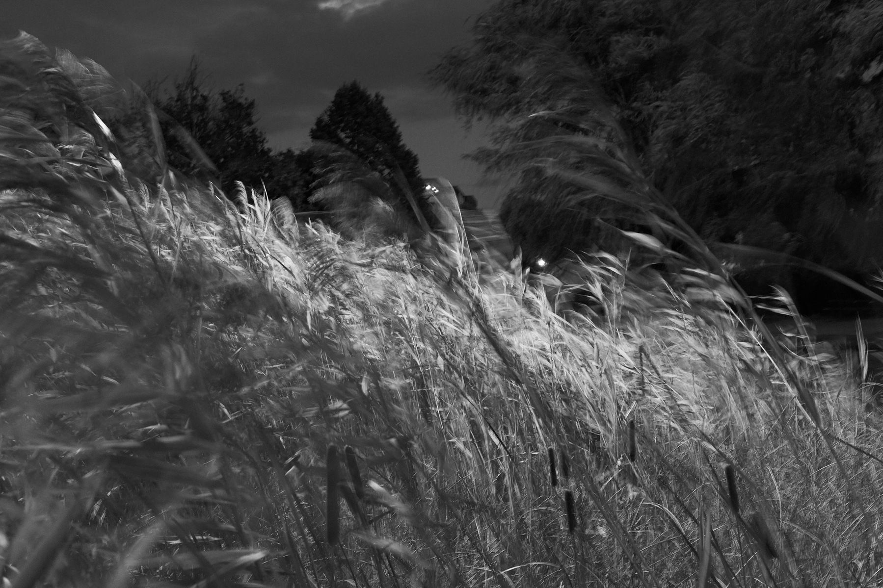 Reeds blow around in the twilight winds in Parc Jarry