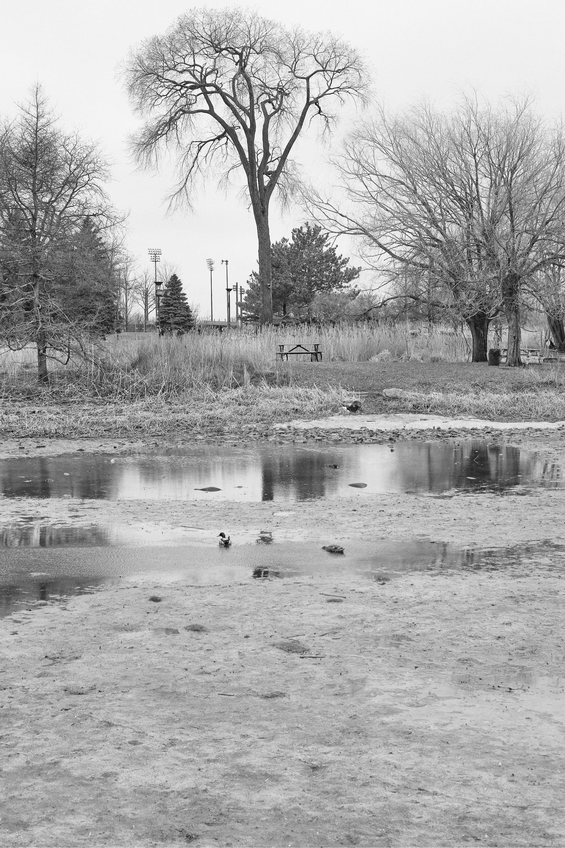 Two ducks forage in a puddle