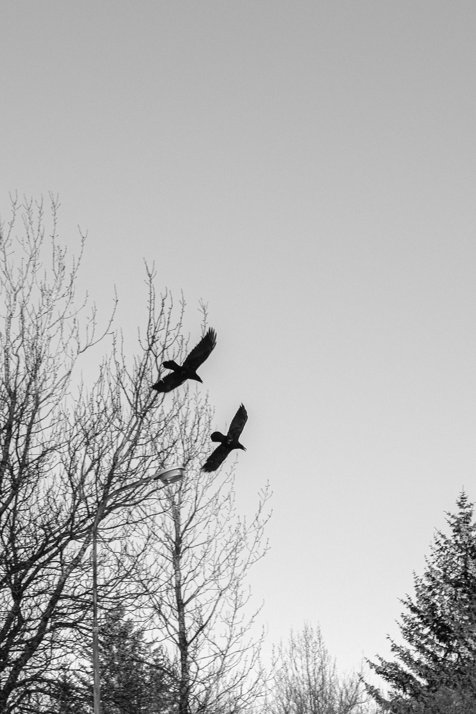 two ravens playing chase